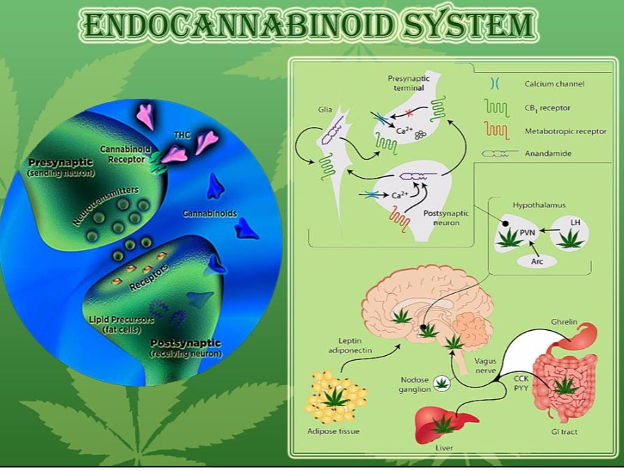 Hemp CBD aids the healthy workings of the Endocannabinoid System (Nerve System)